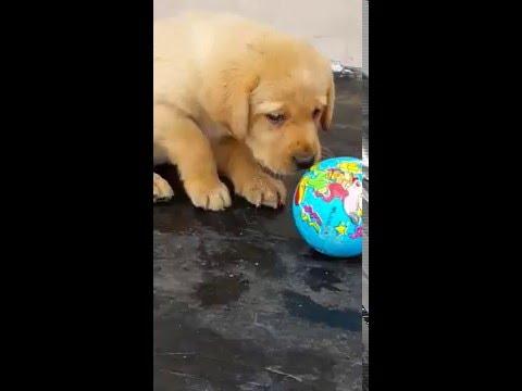 Vendita labrador retriever cucciola femmina vendita