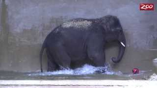 Baby Elephant's Water Polo Training Video Is Just Too Cute
