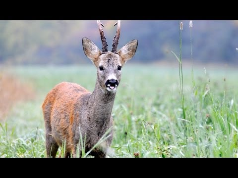 The Shooting Show -- Scottish roebuck and the Swarovski ballistic reticle