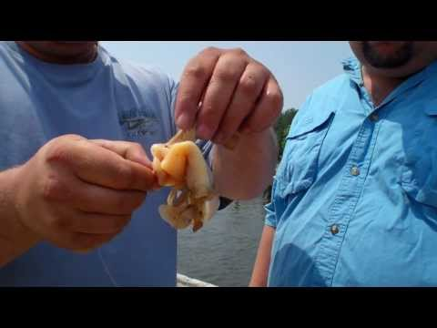 How-to Rig Fresh Clam as Bait for Stripers