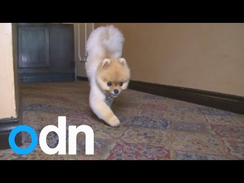Incredible little dog Jiff breaks two world records walking on two paws