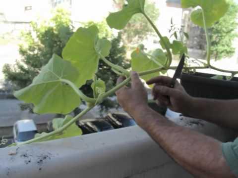 Cómo cultivar calabaza en el balcón//Balcón comestible//LlevamealhuertoTv