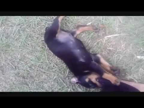 Pitbull,Rottweiler,Doberman and Doberman puppies!!