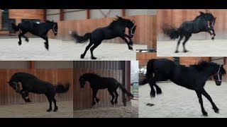 Video Is he throwing a fit? Friesian Horse Bauke in the inside arena. MP3, 3GP, MP4, WEBM, AVI, FLV Agustus 2019