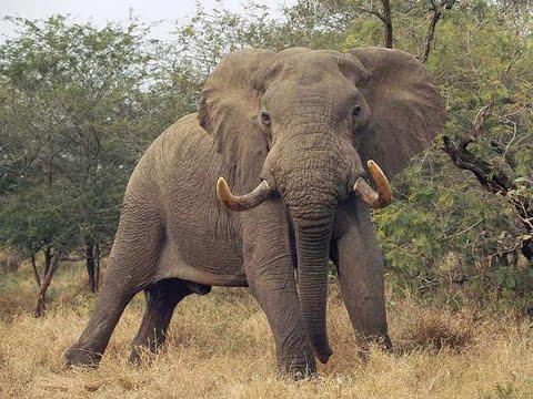 Video AFRICAN ELEPHANT ATTACKS & KILLS TOURIST download in MP3, 3GP, MP4, WEBM, AVI, FLV January 2017