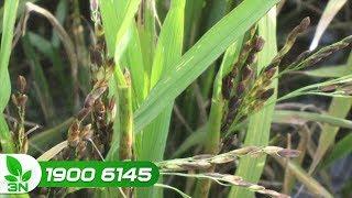 Phòng chống bệnh lùn sọc đen hại lúa đang thu lại kết quả tích cực