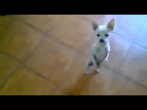 Чихуахуа танцует фламенко – Flamenco dancing Chihuahua