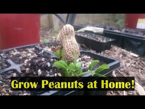 How to Grow Peanuts in the Home Garden & Cook Them to Eat