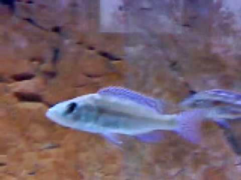 wildcaught Nimbochromis fuscotaeniatus