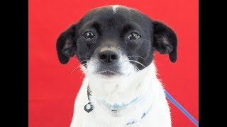 A5090112 Popsicle is a spiffy and cute-as-a-button 1-year-old white-and-black female Smooth Fox Terrier puppy who arrived at the Baldwin Park Animal Care Center on July 17th as a stray from Baldwin Park. Weighing 11 lbs, Popsicle has that puppy-love thing going on for her: She loves to kiss people and snuggle in their warm and friendly laps as much as she can. She also likes other small dogs if the introduction is not abrupt and scary, but at this point she wants nothing much to do with the big ones! Popsicle came in with her sister (already adopted). She shows signs of housebreaking and does pretty well on leash for such a young girl; we figure that a little more training will make her the go-anywhere companion she surely can be. We think Popsicle will thrive as an indoor pet and companion in any type of household. For more information on this pet, contact volunteer UHA adoption coordinator Viri at 626-318-2038 or vfloera@gmail.com.United Hope for Animals is not a facility. To CHECK THE STATUS of this animal, contact the BALDWIN PARK SHELTER in person, by phone or on their website:Address: 4275 Elton St, Baldwin Park, CA 91706Phone: (626) 962-3577Website: http://1.usa.gov/1oB6G0pIf you end up adopting this animal, please give a shout out to #unitedhopeforanimals @UnitedHope on social media,  leave a comment here as a thank you to our Volunteers, or donate to UHA at http://unitedhope4animals/donate. Thank you for looking! Please SHARE this animal if you are unable to adopt. United Hope for Animals links:ADOPTABLE PETS: http://goo.gl/gY1ReUFACEBOOK: https://www.facebook.com/UnitedHopeTWITTER: https://twitter.com/UHope4AnimalsINSTAGRAM: http://instagram.com/unitedhopeforanimalsWEBSITE: http://unitedhope4animals.orgOur Mission:United Hope for Animals is dedicated to reducing homelessness among companion animals through spay/neuter, shelter support, photography, video and networking of shelter animals in Southern California. It is an all-volunteer, non-profit organizati