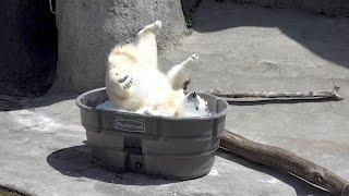Kompletnie zwariował! Dzika radość niedźwiedzia polarnego na widok wanny z lodem :D