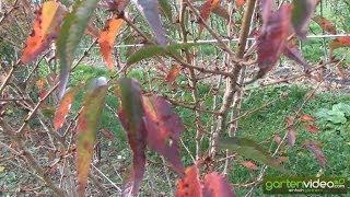 #1411 Herbstfärbung der Prunus kurilensis brillant - Kurilenkirsche