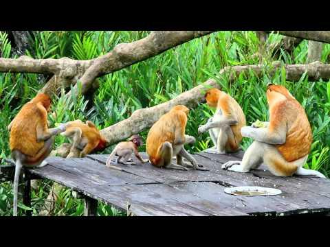 Video Proboscis Monkeys download in MP3, 3GP, MP4, WEBM, AVI, FLV January 2017