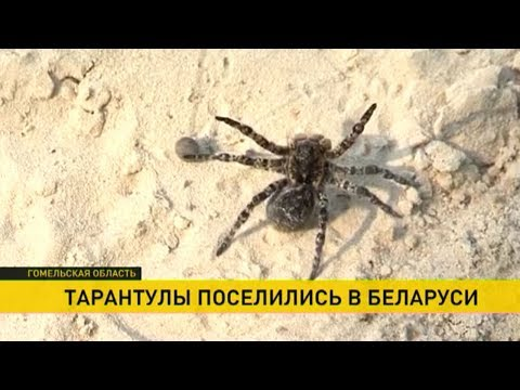 Откуда на Гомельщине взялись пауки-тарантулы - DomaVideo.Ru