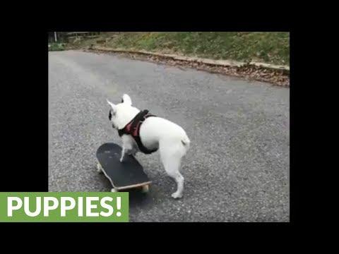 il-french-bulldog-sullo-skateboard