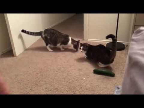 Cucumber Scares Two Cats (Video)