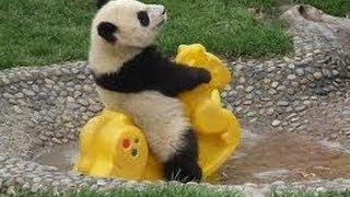 Video So Cute! Baby Panda Playing (1) MP3, 3GP, MP4, WEBM, AVI, FLV September 2017