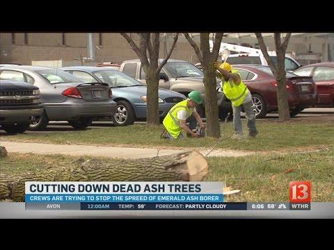 Cuttind Down Dead Ash Trees