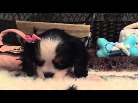 SO CUTE AND LITTLE CAVALIER FEMALE PUPPY!