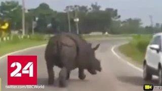 В Сети бурно обсуждают видео с носорогом, атакующим машины