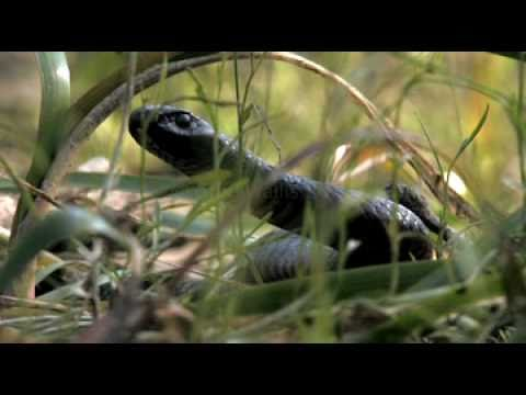 porphyriacus - Recent heavy rains over much of southern Australia have brought back new life into the Barmah Forest after years of drought. This Black Snake was found in ea...