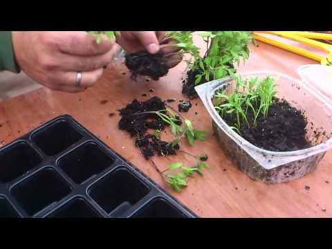Cómo repicamos el tomate//Balcón comestible//LlevamealhuertoTv