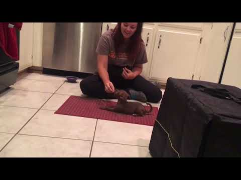 Puppy obedience, place, sit, down and blocking for biting or bad behavior
