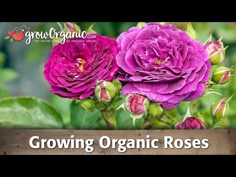 Growing Organic Roses