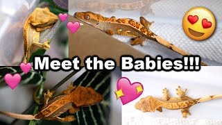 More Crested Gecko Eggs Hatched! by Tyler Rugge