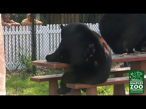 Funny Video Of Black Bear Seated At Picnic Table Eating