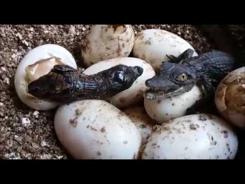 צפו בתנין בוקע מתוך ביצה בערבה