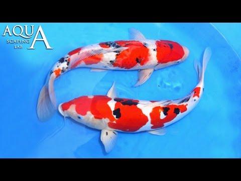 acquariofilia - carpe koi