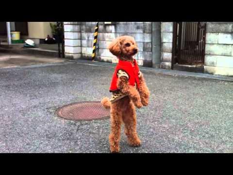 Tierno Poodle que camina y salta en dos patas
