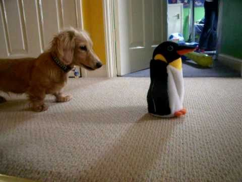 Watch Out Dachshund – Penguin is Coming to Get You!