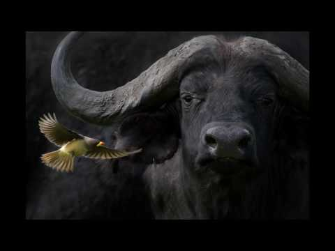 The story behind the photo: incredible capture of water buffalo and bird