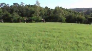 Capa do vídeo 826 litros/dia com 40 vacas em ordenhas, em 11,5 ha com picos acima de 1000 mil litros/dia