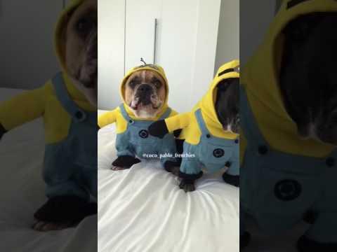 Des chiens déguisés en Minions