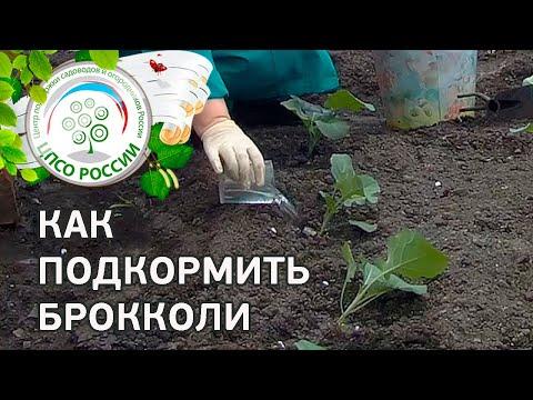 Брокколи. Выращивание (подкормка капусты брокколи).