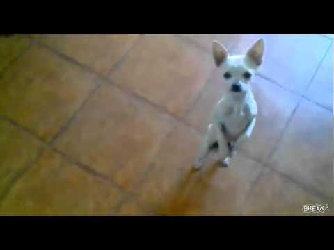 Chihuahua  bailarin