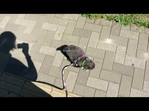 Chihuahua puppy's first walk!