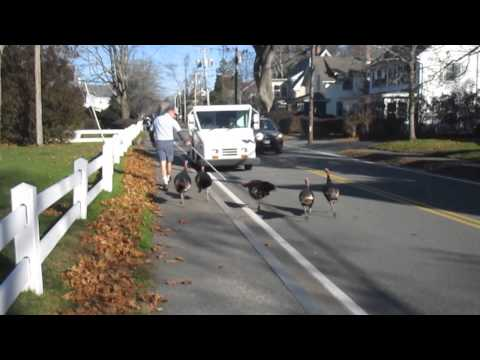 Turkeys Attack Falmouth mailman Every day