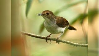 Suara Burung Minta Duit | Pelanduk dada-putih | White-chested Babbler | Trichastoma Rostratum