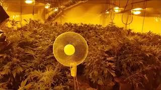 W Łapinie Kartuskim zlikwidowano gigantyczną plantację marihuany