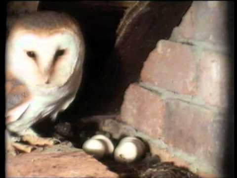 owl - The Private Life of the Barn Owl Introduced and narrated by Sir David Attenborough Written, Produced and Directed by David Cobham.