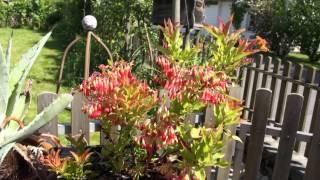 #729 Die farbenfrohen Blüten der Heidelbeere Blautropf