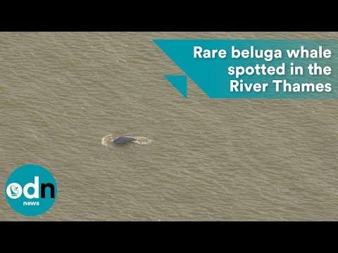 Video - Από την Ανταρκτική... κοντά στο Λονδίνο εντοπίστηκε μια σπάνια λευκή φάλαινα