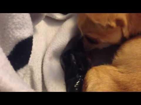 Chihuahua Whelp Birth Puppy Black Magic