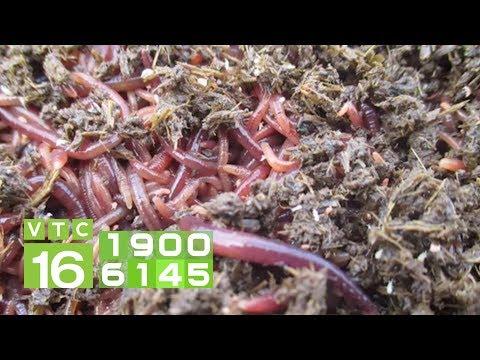 Lợi ích nuôi giun quế từ chất thải chăn nuôi | VTC16 - Thời lượng: 2 phút, 55 giây.