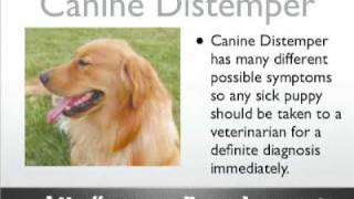 Canine Distemper - Dog Distemper - Dog Symptoms And Diseases