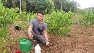 Video DIBONGKAR RAHASIA Pupuk Jeruk Nipis Agar Berbuah Lebat MP3, 3GP, MP4, WEBM, AVI, FLV September 2018